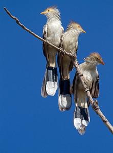 Guira cuckoos flocking together