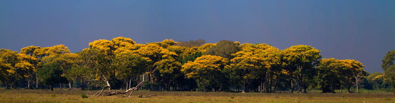 Yellow Ibe trees in bloom
