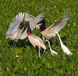 Jabiru egret interactions