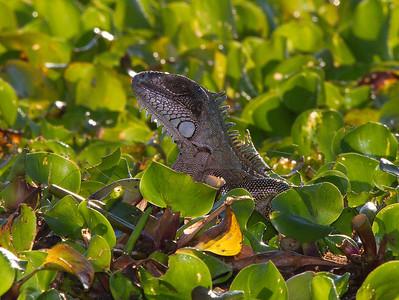 Iguana in stream vegetation