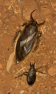 Comparison of giant water bugs. The smaller one is 2 inches long!
