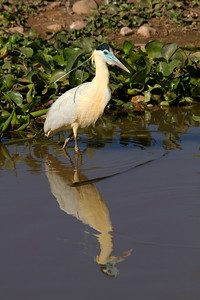 Capped heron fishing