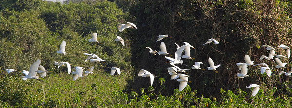 Great and snowy egrets in a Pantanal Pond