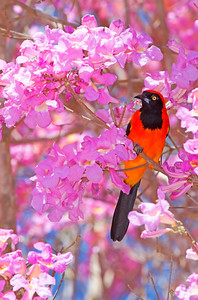 Orange troupial in pink piuva tree