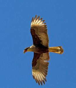 Crested caracara in flight