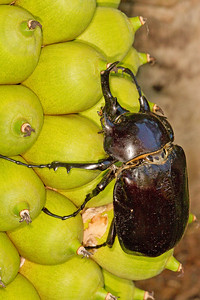 Megasoma male an pandinus fruit