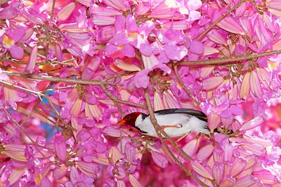 Yellow-billed cardinal in pink piuva tree