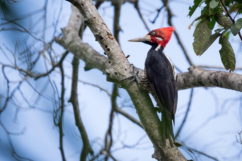 Lineated Woodpecker / Pica-pau-de-banda-branca