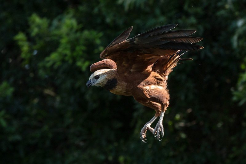 black-collared hawk / gavião-belo