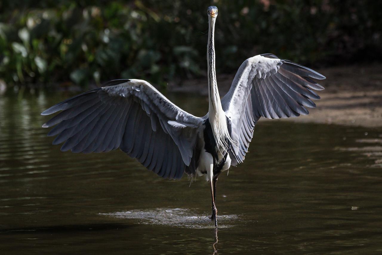 cocoi heron