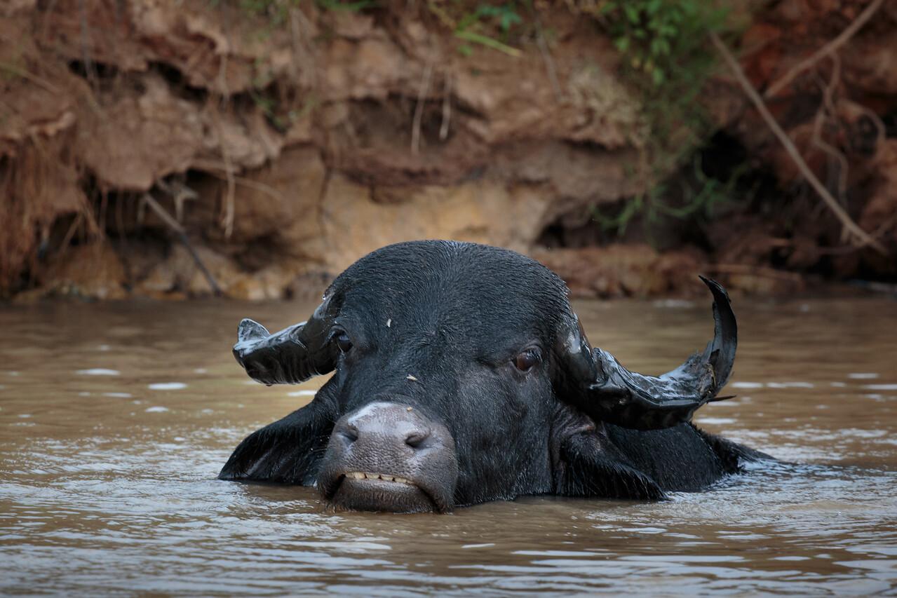 River Buffalo