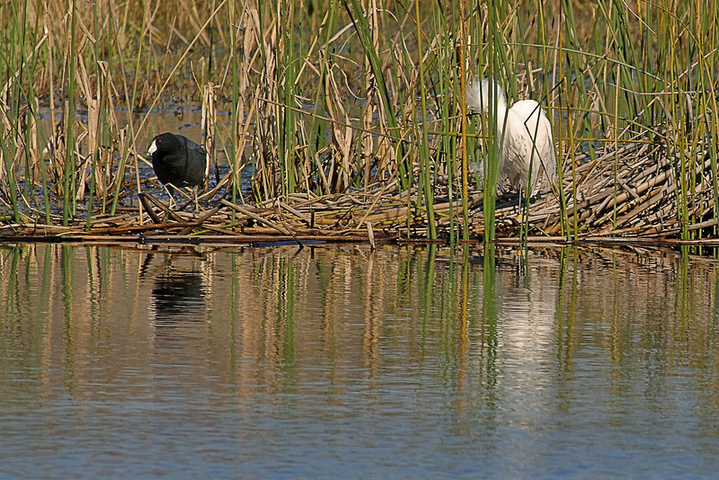 Coot and Snowy Egret
