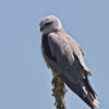 2.8% crop of the full-frame of a White-tailed Kite 100+ yards away. Back-lit from the right.