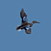 Northern Shoveler in flight from about 100 yards away.  8% crop of the full frame.