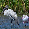 5% crop of the full-frame of a Wood Stork with a Roseate Spoonbill.  At least 75 yards away.  600mm based on 35mm.