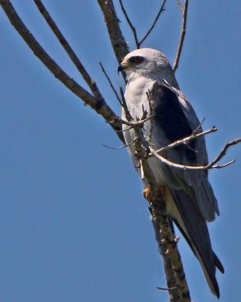 Taken 092112.  White-tailed Kite.  3.6% crop of the full frame.  600mm based on 35mm.  100+ yards away.