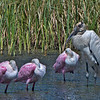 9% crop of the full-frame of a Wood Stork and three Roseate Spoonbills.  over 75 yards away.  600mm based on 35mm.