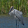 5% crop of the full-frame of a Wood Stork.  At least 75 yards away.  600mm based on 35mm.