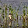 White Ibis feeding.