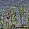 Great Blue Heron wading the first water area on the auto-trail in Brazoria NWR.  Shot  at equivalent of 540mm(35mm) and AF.