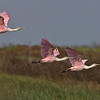 Roseate Spoonbills were plentiful at the Brazoria National Wildlife refuge.  Up until 2 weeks ago there were fifty-five Wood Storks that waded and fed among them.  Great Egrets and White and Glossy Egrets were plentiful.