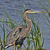 Cropped shot of Great Blue Heron shot without the teleconverter.