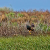 A Northern Harrier working the far bank of the largest(back) water area at Brazoria NWR on 092512.  The bird was approximately 150 yards away.  The shot was made at 600mm based on 35mm and was cropped considerably.