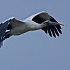 Wood Stork fly by under totally overcast sky.