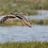 Nothern Shoveler, female, in flight.