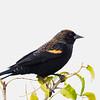 Red-wing Blackbird, immature.