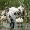 3 Wood Storks plus White Ibis.