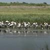 Approximately 40 Wood Storks.