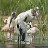 Three Wood Storks and White Ibis.