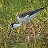 Black-neck Stilt