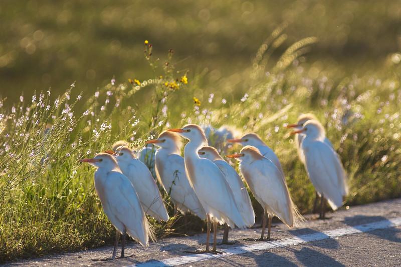 Roadside Juvenile Cattle Egrets