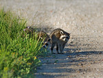 Shy and Timid Young Raccoons
