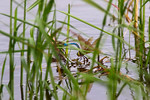 Dragonflies Courting at Alligator Nest Pond