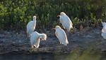 Adult Egrets Enjoying the Water Hole