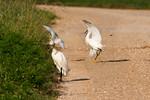 Snowy Egret Discipline!
