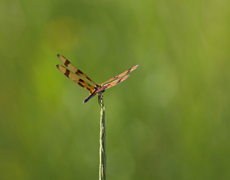 Tiger Stripped Dragonfly