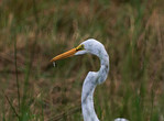 Great White Egret and Fish