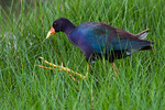 Really Big Feet -Purple Gallinule Doesn't that beak look like candycorn?