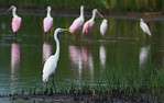 Great White Egret, Grebe and Friends, -Roseate Spoonbills, Snowy Egrets, Willet