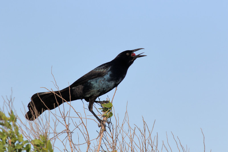 Grackle With Berry At Brazoria National Wildlife Refuge
