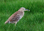 Juvenile Black Crown Night Heron