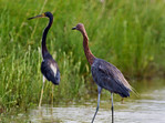 Tricolored Heron and Reddish Egret
