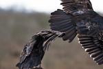 American Turkey Vultures