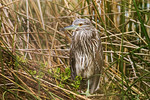 Juvenile Black Crowned Night Heron at Alligator Nest Pond