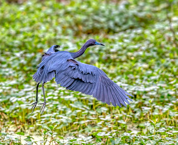 Blue Heron drops in to hunt for food