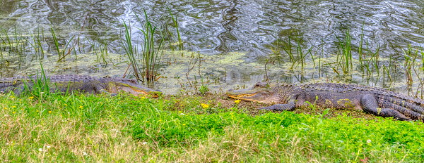 Alligators chillin' at Elm Lake (Brazos Bend State Park)